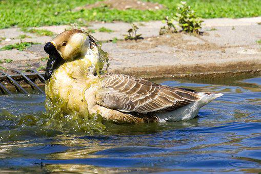 Goose, Water, Animal, Wash, Laundry Day, Cleaning