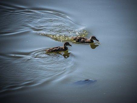 Water-level, Ducks, Fish, Nature, Water Bird