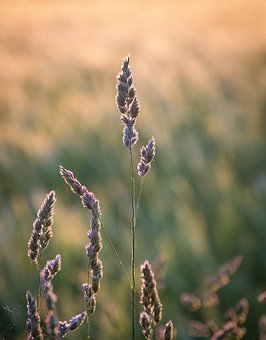 Why, Seeds, Wheat, Grasses, Arable, Close, Macro