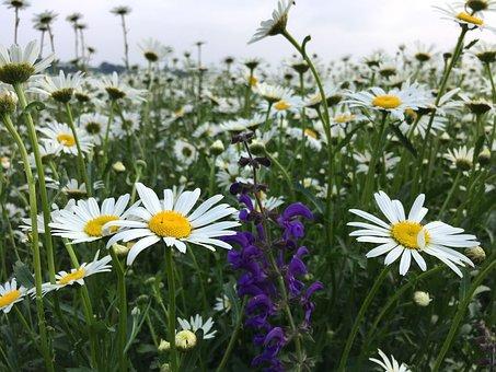 Daisies, Wild Sage, Blossom, Bloom, White, Flower