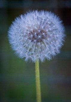 Dandelion, Spring, Bloom, Seeds, White, Green, Flowers