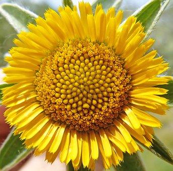 Wild Flower, Yellow Flower, Pollen, Detail