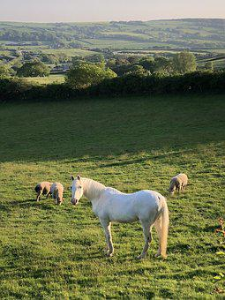 Horse, Field, Sheep, Animal, Mammal, Equine, Pasture
