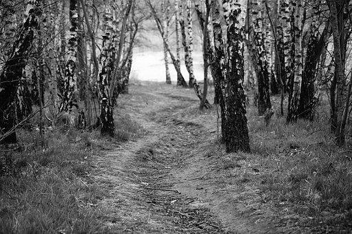 Tree Trees, Away, Birch Birch, Path, Nature, Lonely