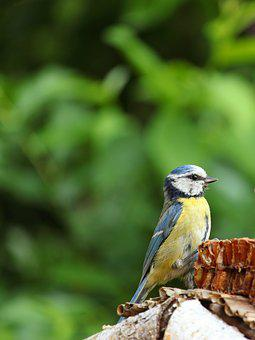 Cyanistes Caeruleus, Blue Tit, Tit, Bird, Home, Food