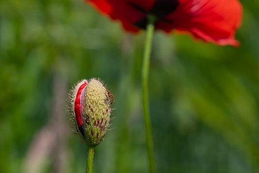 Poppy, Klatschmohn, Bud, Blossom, Bloom