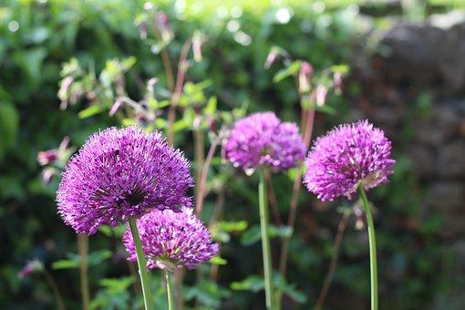 Allium, Flower, Ball, Purple, Plant, Spring, Blossom