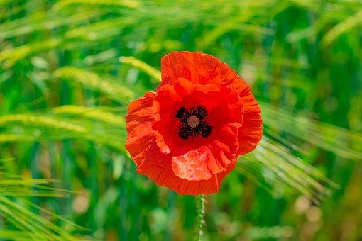 Poppy, Klatschmohn, Blossom, Bloom, Edge Of Field, Red