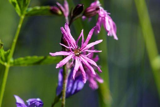 Cuckoo-light Elke, Blossom, Bloom, Flower, Nature