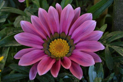 Blossom, Bloom, Flower, Full Bloom, Close, Pink, Violet