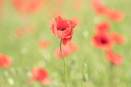 Poppy, Poppy Flower, Spring, Summer, Blossom, Bloom