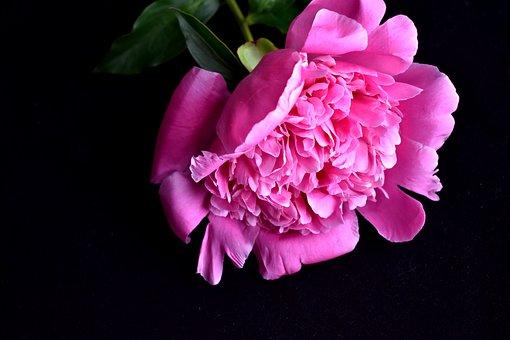 Peony, Bud, Gentle, Closeup, Pink Flower