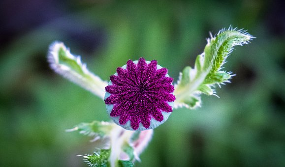 Poppy, Bud, Green, Plant, Spring, Blossom, Bloom