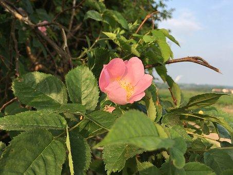 Wild Rose, Rose Hip, Blossom, Bloom, Pink, Bush, Rose