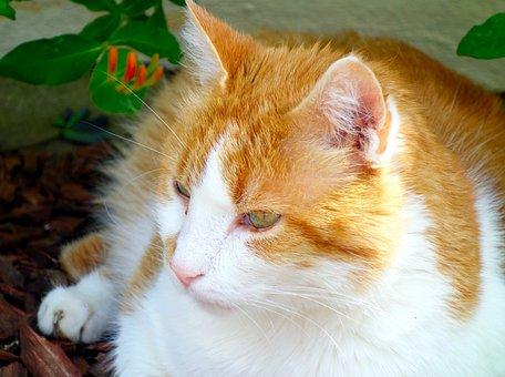 Cat, Red Tomcat, Mieze, Pet, Hangover Watched, Mackerel