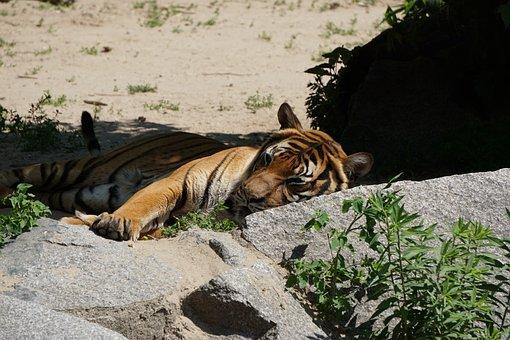 Sumatran Tiger, Tiger, Predator, Zoo, Dangerous