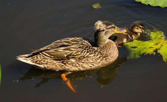 Duck, Mama, Chicks, Hairstyle, Feather, Animal Child