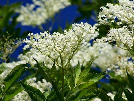 Elderflower, White Flower