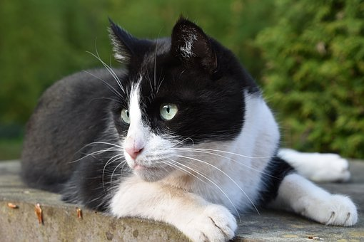 Cat, Domestic, Black And White, Feline, Animal