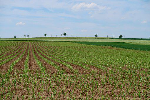 Avenue, Cornfield, Trees, Field, Agriculture, Spring