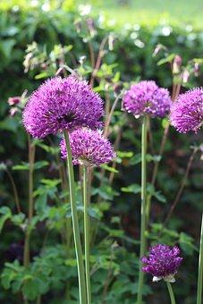 Allium, Purple, Flower, Blossom, Spring, Bloom, Green