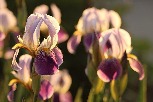 Iris, Purple, Flower, Nature, Plant