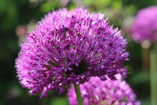 Allium, Flower, Purple, Bulb, Plant, Spring, Nature