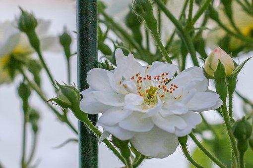 Rose, White Rose, Flowers, Fragrance, Flower Garden