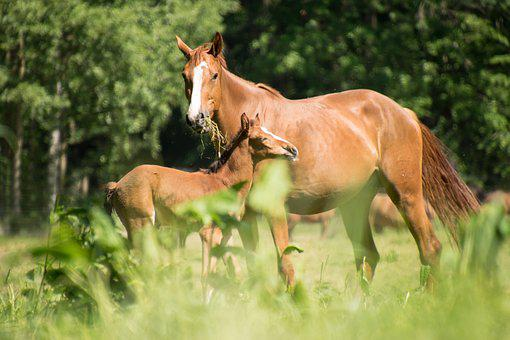 Horses, Foal, Mare, Mother, Animal, Grass, Pasture