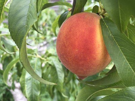 Peach, Tree, Fruit, Leaves, Branch, Fresh Fruit