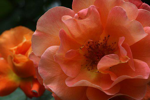Rose, Plants, Flowers, Nature, Pink Flower, Garden