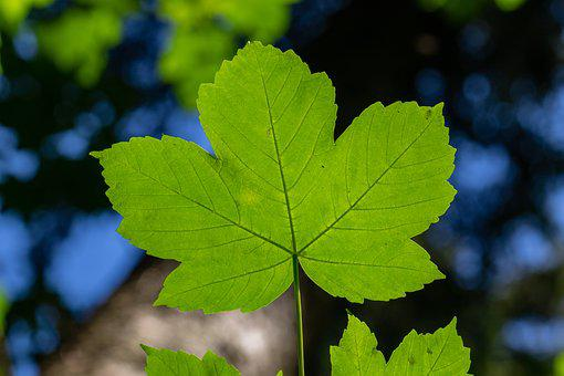 Leaf, Maple, Mountain-maple, Green, Structure