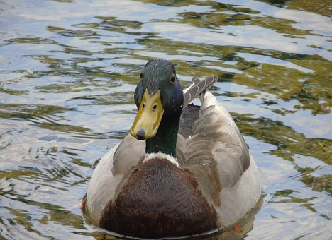 Duck, Mallard, Bird, Wildlife, Nature, Water, Green