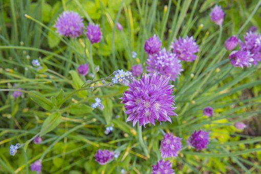 Chive, Herbs, Forget-me-not, Plant, Herb, Purple