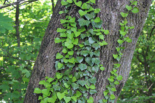 Ivy, Tree, Green, Bark, Leaves, Nature, Plant