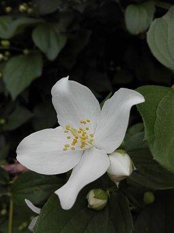 Jasmine, Flower, White Flower, Nature, Garden