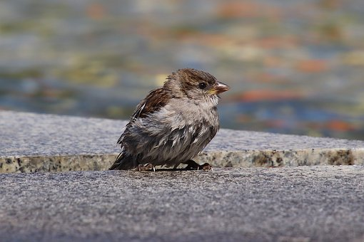 Kleiner, Wet, Sparrow, Swim, House Sparrow, Sperling