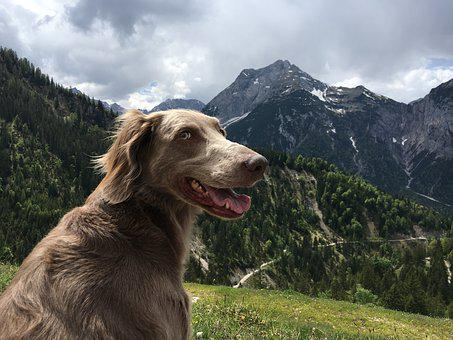 Mountains, Hiking, Austria, Dog, Weimaraner, Landscape