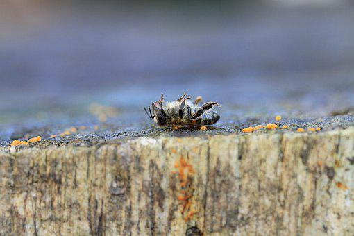 Bee, Dead, Pesticides, Macro, Varroa, Insects