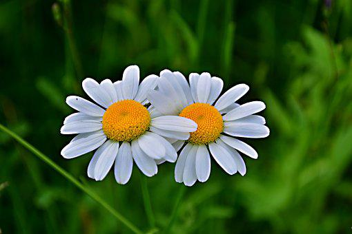 Flower, Marguerite