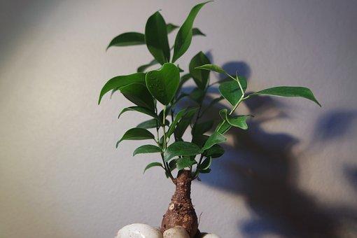 Bonsai, Tree, Indoor, Plant, Small, Miniature, Dwarf