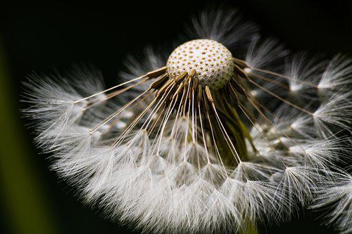 Dandelion, Seeds, Natural, Fluff, Summer, Withers