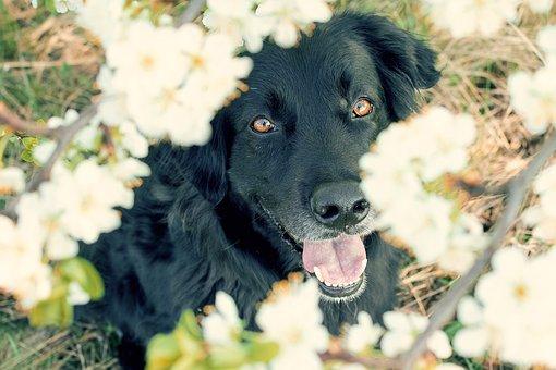 Dog, Blossom, Bloom, Cherry Blossom, Pet, Face, Nature