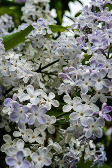 Flowers, Flowering Shrub, Garden, Garden Plants, Nature