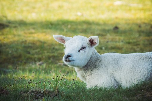 Lamb, Nature, Sheep, Animal, Livestock, Wool, White