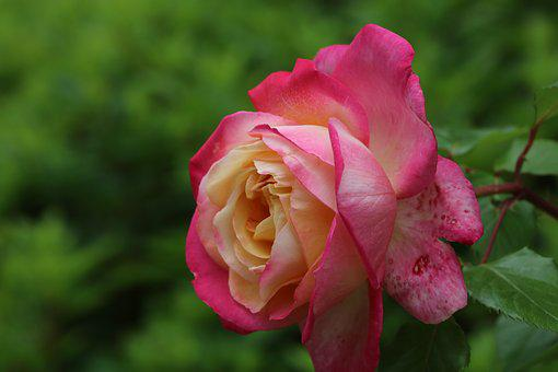 Rose, Red, Red Rose, Garden, Flowers, Nature