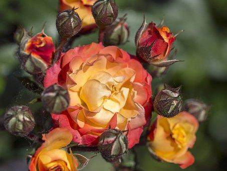 Rose, Red, Yellow, Orange, Flora, Garden, Nature, Plant