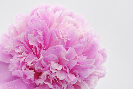 Peony, Rose, Wellness, Beauty, Massage, Physiotherapy