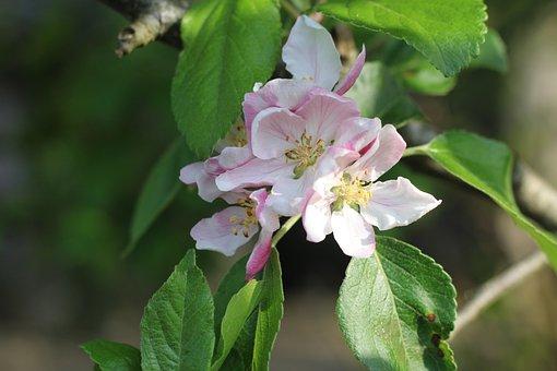 Apple, Apple Blossom, Blossom, Leaf, Petal, Pink, Pale