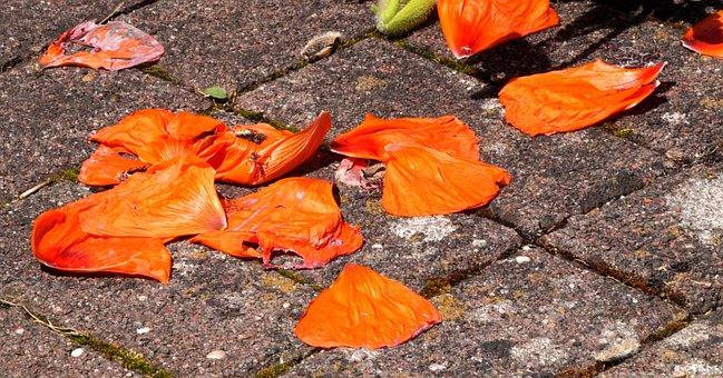 Poppy, Flowers, Faded, Klatschmohn